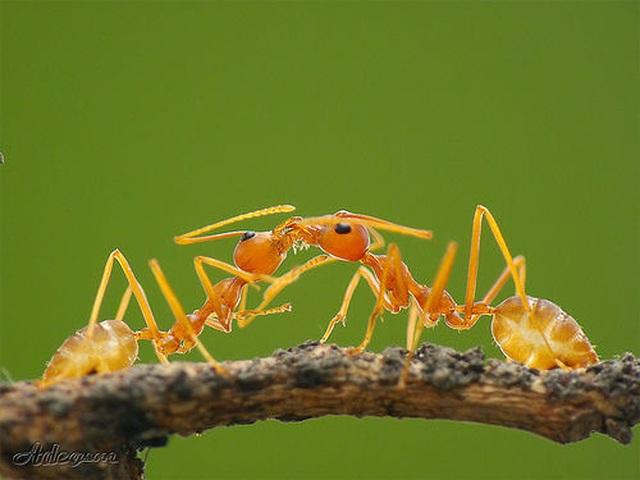 """Khó tin nhưng có thật: Loài kiến chuyên """"bắt cóc trẻ em"""" để sinh tồn - 3"""