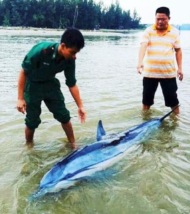 "Hội An: ""Giải cứu"" con cá heo 100kg lụy bờ ra biển"