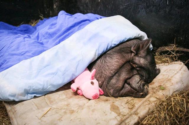 """Giải cứu """"nàng lợn ỉ"""" giống Việt Nam nặng 190kg, có cuộc sống """"sang chảnh"""" ở Anh - 1"""