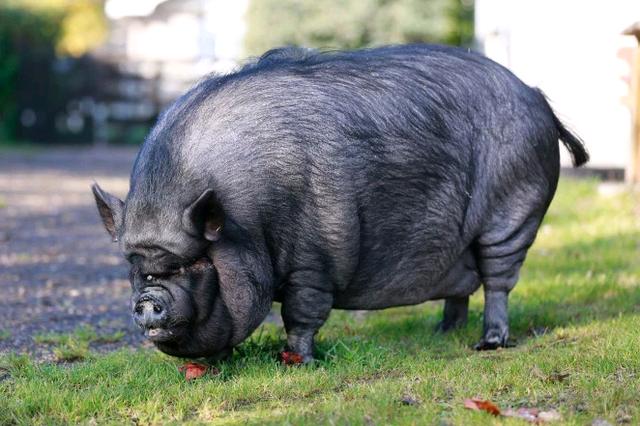 """Giải cứu """"nàng lợn ỉ"""" giống Việt Nam nặng 190kg, có cuộc sống """"sang chảnh"""" ở Anh - 3"""