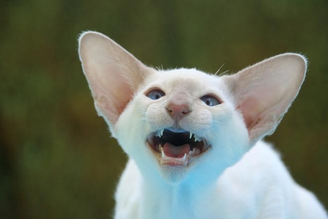 Suýt chết vì nhiễm khuẩn ăn thịt người từ vết mèo cào - 1