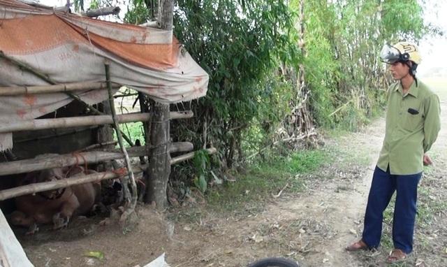 Đàn trâu lạ vào làng đuổi húc 15 người bị thương - 2