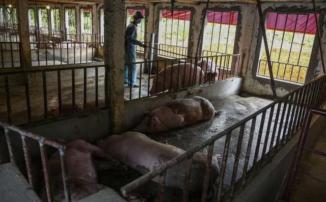 Cơn sốt giá thịt lợn hoành hành, nỗi đau đang dần được cảm nhận ở Việt Nam - 1