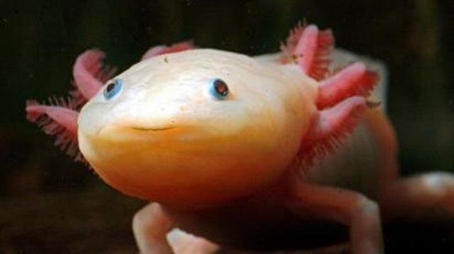 Loài cá có chân, tự mọc lại phần cơ thể bị mất từng khiến dân chơi Việt phát sốt - 1