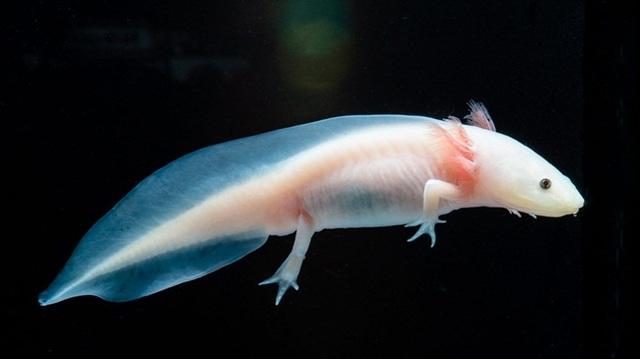Loài cá có chân, tự mọc lại phần cơ thể bị mất từng khiến dân chơi Việt phát sốt - 12