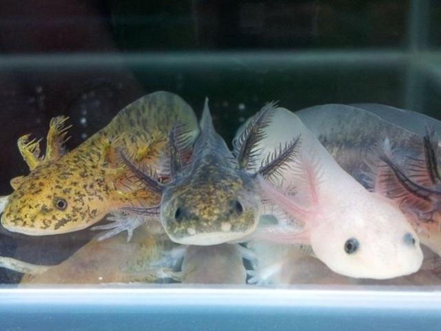 Loài cá có chân, tự mọc lại phần cơ thể bị mất từng khiến dân chơi Việt phát sốt - 6