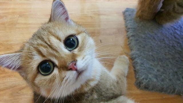 """Bỏ 160 triệu đồng mua mèo Anh, đi ngoài đường ai cũng tưởng mèo """"ta"""" - 2"""