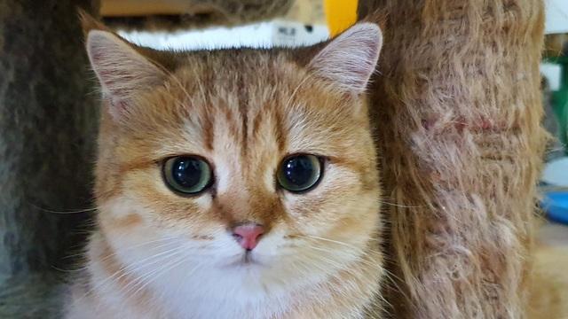 """Bỏ 160 triệu đồng mua mèo Anh, đi ngoài đường ai cũng tưởng mèo """"ta"""" - 4"""