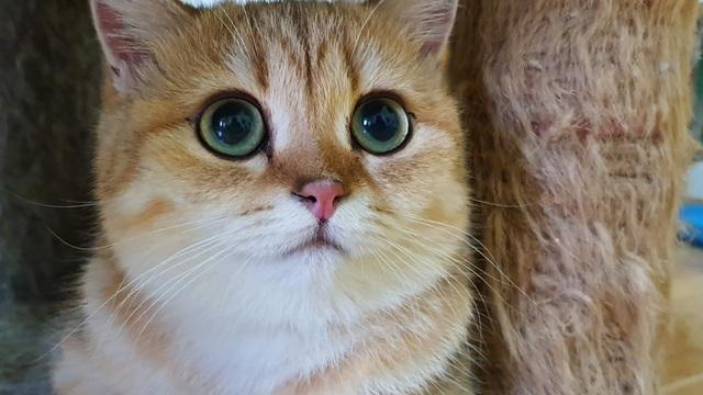 """Bỏ 160 triệu đồng mua mèo Anh, đi ngoài đường ai cũng tưởng mèo """"ta"""" - 1"""
