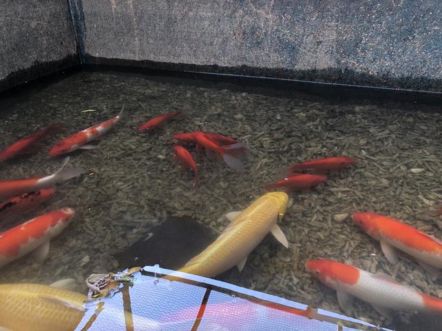 Tháo dỡ hệ thống làm sạch sông Tô Lịch, di chuyển đàn cá Koi sang Hồ Tây - 1