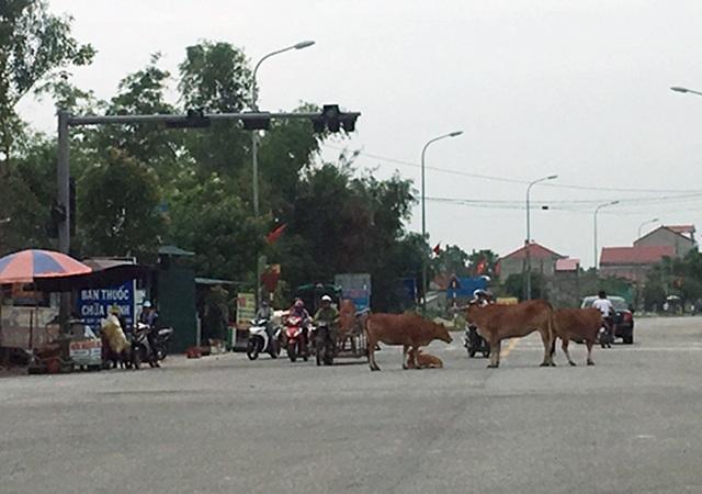 Vấn nạn bò thả rông tái diễn sau bao công sức dẹp bỏ - 2