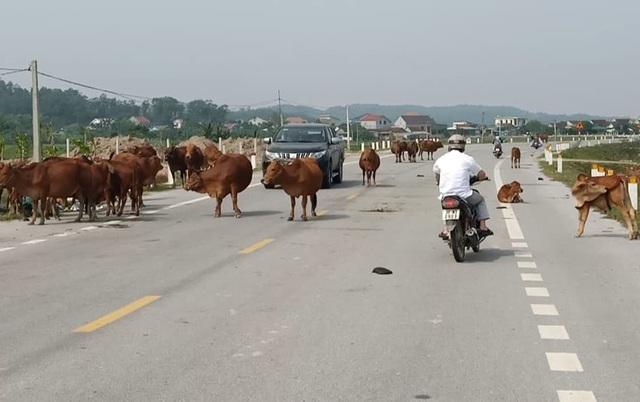 Hà Tĩnh lại mở đợt cao điểm xử lý trâu bò thả rông trên quốc lộ - 1