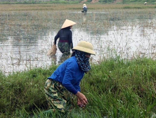 Nông dân đổ xô đi bắt ốc bươu vàng hại lúa, thu lợi hàng triệu đồng - 2