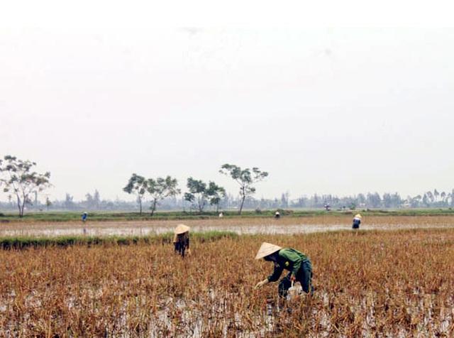 Nông dân đổ xô đi bắt ốc bươu vàng hại lúa, thu lợi hàng triệu đồng - 1
