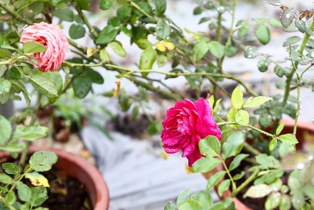 Bỏ phố về quê trồng hoa hồng, 8x thu 300 triệu đồng mỗi năm - 11