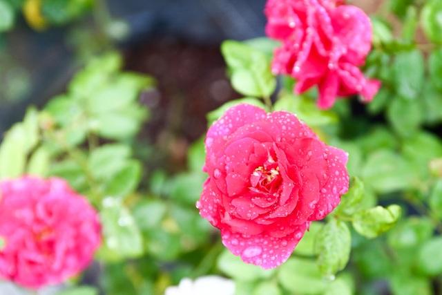Bỏ phố về quê trồng hoa hồng, 8x thu 300 triệu đồng mỗi năm - 9