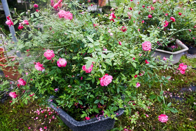 Bỏ phố về quê trồng hoa hồng, 8x thu 300 triệu đồng mỗi năm - 2