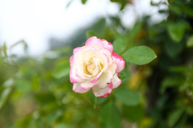 Bỏ phố về quê trồng hoa hồng, 8x thu 300 triệu đồng mỗi năm - 12