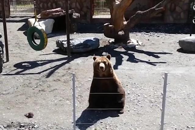 Thú vị xem gấu vẫy tay thân thiện chào khách - 1