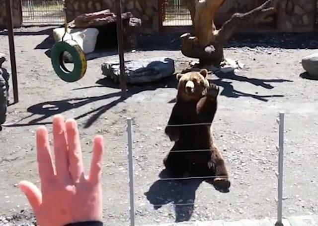 Thú vị xem gấu vẫy tay thân thiện chào khách - 3