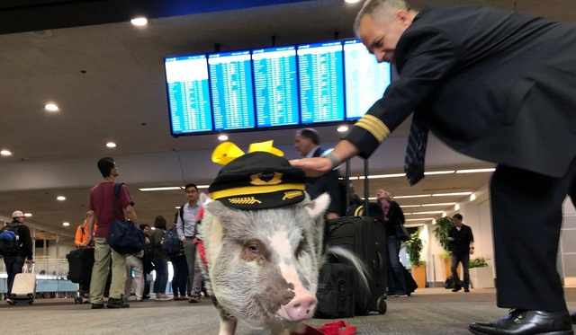 """Sân bay Mỹ tuyển lợn làm """"chuyên viên trị liệu"""" tâm lý cho khách - 2"""