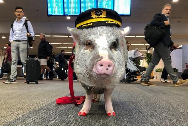 """Sân bay Mỹ tuyển lợn làm """"chuyên viên trị liệu"""" tâm lý cho khách - 1"""