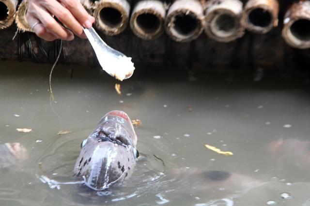 Quá độc, lạ Cần Thơ: Đút từng thìa cơm cho cá ăn như đút cho em bé - 4