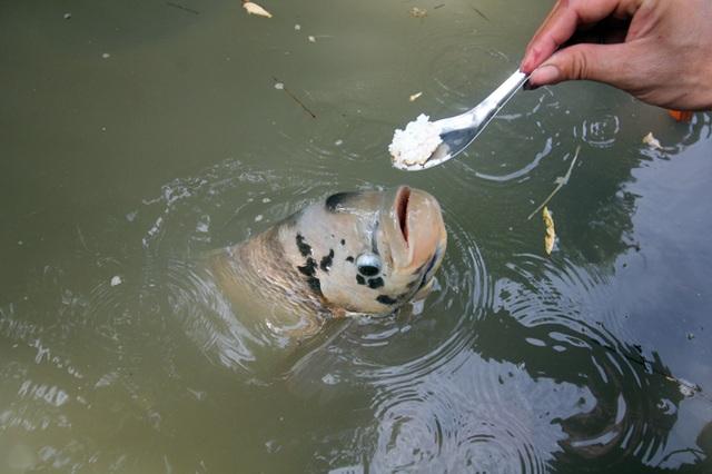 Quá độc, lạ Cần Thơ: Đút từng thìa cơm cho cá ăn như đút cho em bé - 5
