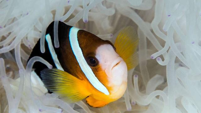 """""""Siêu năng lực"""" giúp cá hề có thể nhìn thấy tia UV - 1"""