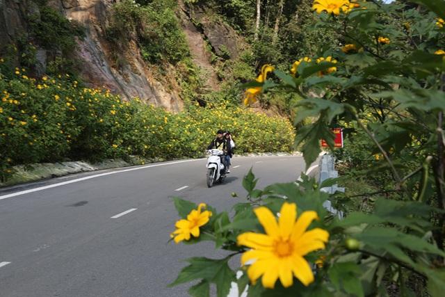 Hoa dã quỳ nở vàng trên núi Ba Vì - 1