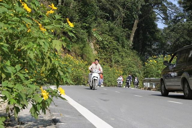 Hoa dã quỳ nở vàng trên núi Ba Vì - 2