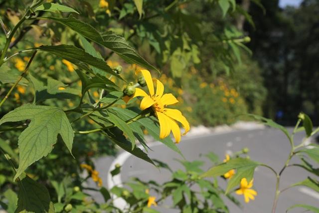 Hoa dã quỳ nở vàng trên núi Ba Vì - 3