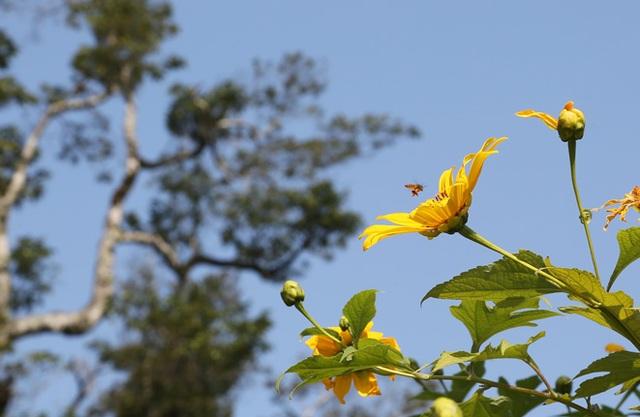 Hoa dã quỳ nở vàng trên núi Ba Vì - 4