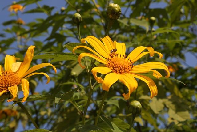 Hoa dã quỳ nở vàng trên núi Ba Vì - 5