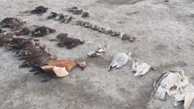 Hàng nghìn xác chim chết bất thường, nằm la liệt phủ kín mặt hồ - 1
