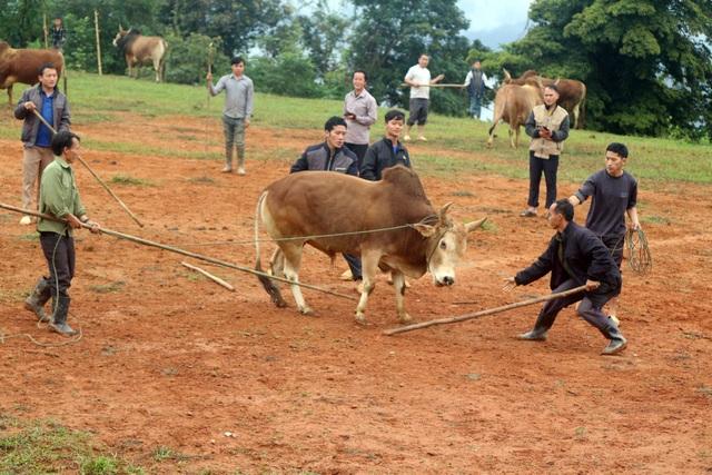 Đặc sắc hội chọi bò người Mông ở miền Tây xứ Nghệ - 13