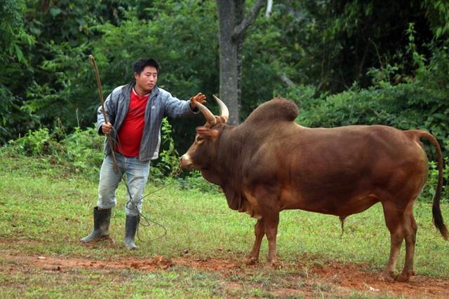 Đặc sắc hội chọi bò người Mông ở miền Tây xứ Nghệ - 15
