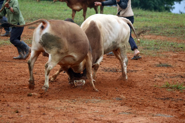 Đặc sắc hội chọi bò người Mông ở miền Tây xứ Nghệ - 5