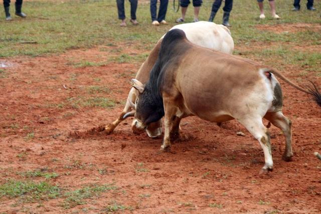 Đặc sắc hội chọi bò người Mông ở miền Tây xứ Nghệ - 9