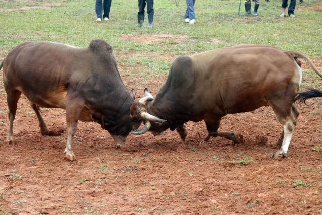 Đặc sắc hội chọi bò người Mông ở miền Tây xứ Nghệ - 2