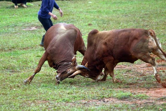 Đặc sắc hội chọi bò người Mông ở miền Tây xứ Nghệ - 8