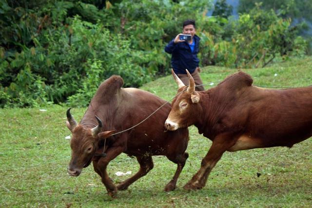 Đặc sắc hội chọi bò người Mông ở miền Tây xứ Nghệ - 18