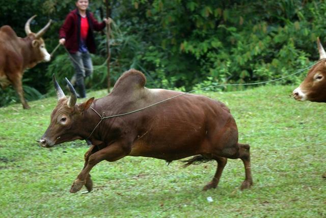 Đặc sắc hội chọi bò người Mông ở miền Tây xứ Nghệ - 20