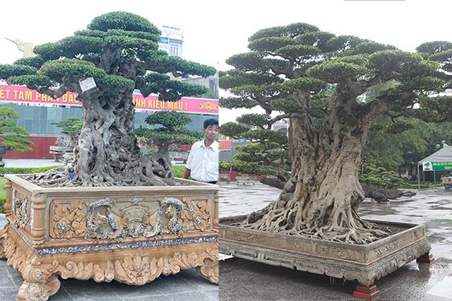 Mua cây sanh cổ quá cao, cắt làm đôi tạo thành 2 cây bán gần 20 tỷ đồng - 1