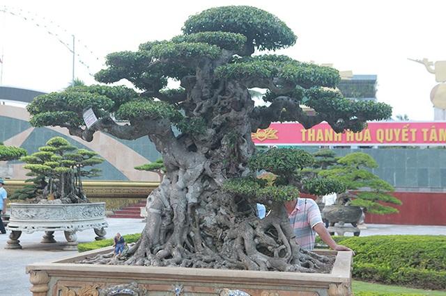Mua cây sanh cổ quá cao, cắt làm đôi tạo thành 2 cây bán gần 20 tỷ đồng - 11