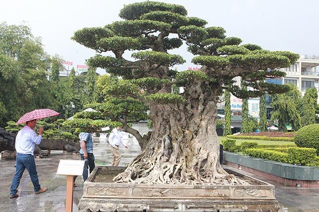 Mua cây sanh cổ quá cao, cắt làm đôi tạo thành 2 cây bán gần 20 tỷ đồng - 3
