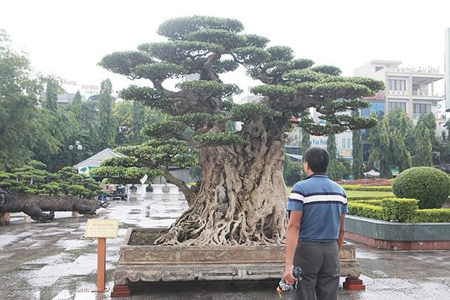 Mua cây sanh cổ quá cao, cắt làm đôi tạo thành 2 cây bán gần 20 tỷ đồng - 4