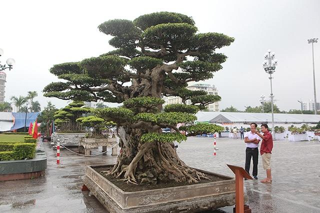 Mua cây sanh cổ quá cao, cắt làm đôi tạo thành 2 cây bán gần 20 tỷ đồng - 5