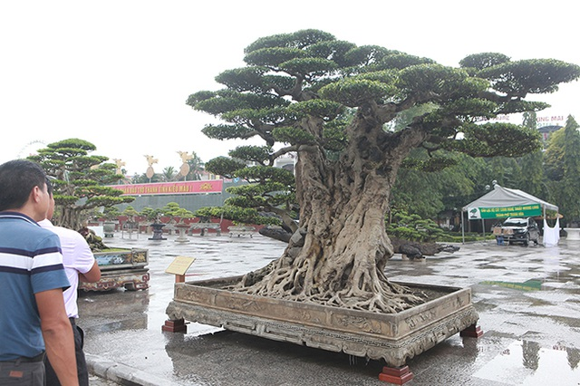 Mua cây sanh cổ quá cao, cắt làm đôi tạo thành 2 cây bán gần 20 tỷ đồng - 6