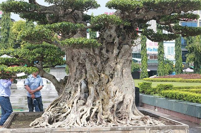 Mua cây sanh cổ quá cao, cắt làm đôi tạo thành 2 cây bán gần 20 tỷ đồng - 7